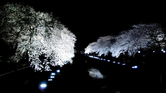 マツコの知らない世界「野川の夜桜ライトアップ」2019年は4月に開催